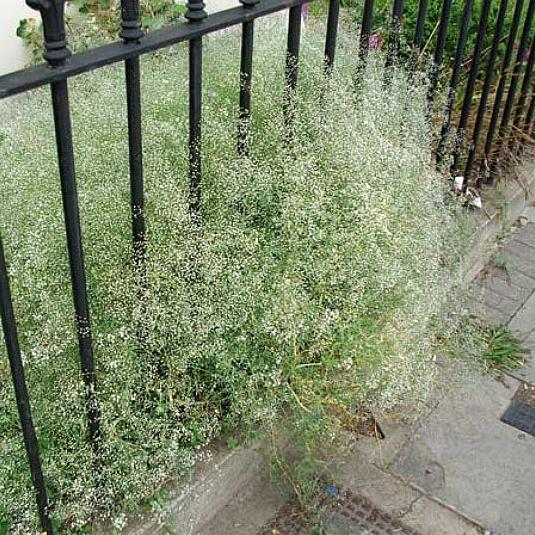 Baby´s breath   Gypsophila locale plant Londen gebruikt door Asif Kahn voor planten meubels harvest